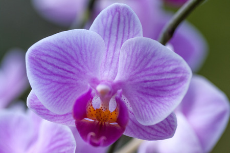 Close up of pink Phalaenopsis, or Moth Orchid, flower showing veined petals.
