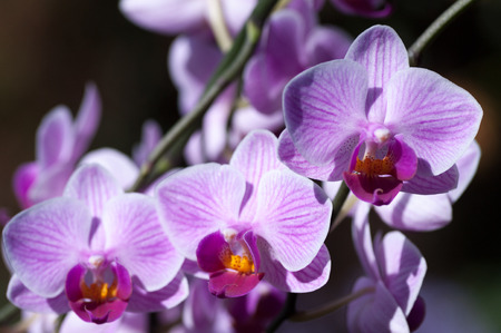 Three pink veined moth orchids Phalaenopsis on the diagonal with focus on top one.