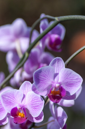 Two pink veined Phalaenopsis, or moth orchids, with others as blurred bokeh above giving space for copy.