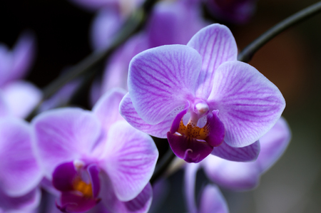 veined: Pink veined Phalaenopsis Moth Orchid Stock Photo