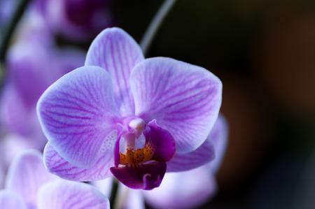 Pink veined Phalaenopsis moth orchid