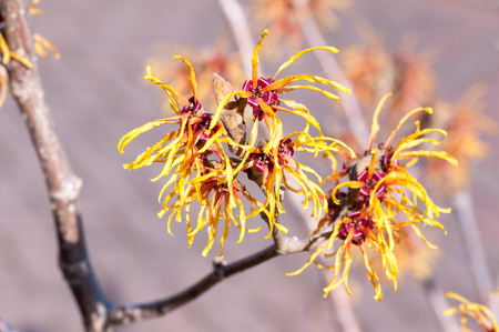 Hamamelis, Witch Hazel, flowers close up flowering in winter on bare stems.