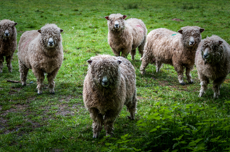Small flock of Cotswold sheep.