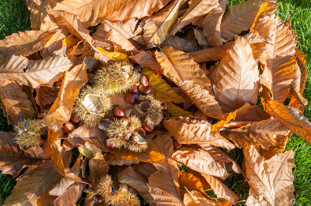 Sweet chestnut leaves and fruits on the ground as found under the tree. Stock Photo
