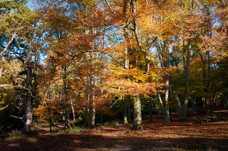 Beech woodland in autumn colours.