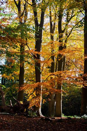 Beech trees in autumn.