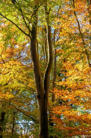 European beech tree, Fagus sylvativa, in its autumn colours.