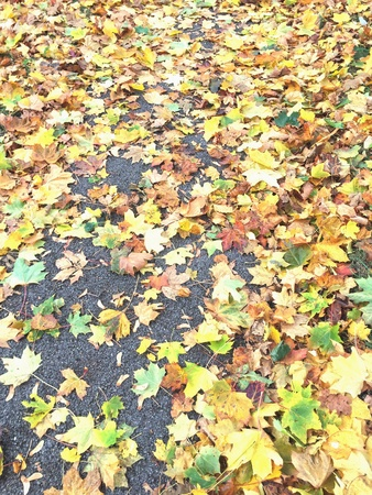 Fallen autumn sycamore leaves on the tarmac of a footpath.