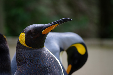 king penguins: King penguin head shot in profile with another as blurred bokeh behind. Stock Photo