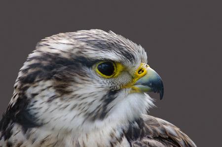 Head of Saker falcon in profile showing curved beak.
