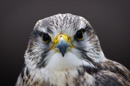 Head shot of Saker falcon Falco cherrug.
