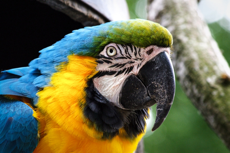 Blue and yellow macaw head shot. Scientific name Ara ararauna. Also known as blue and gold macaw. Stock Photo