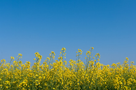 Yellow oilseed rape flowers in field with blue sky filling top two thirds of image. Stock Photo