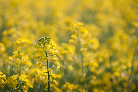 Field of oilseed rape with a few flowers in focus and the rest as blurred bokeh.