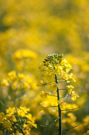 Yellow flowerhead of oilseed rape with rape field as blurred bokeh beyond.