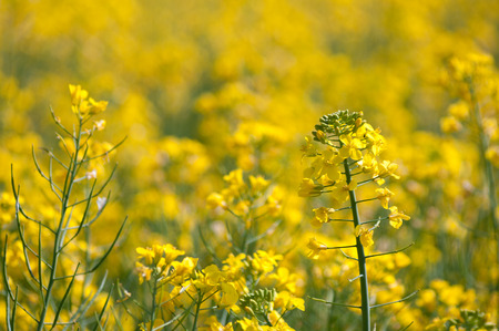 Oilseed rape crop with one flower spike in focus and others as blurred bokeh behind. Stock Photo