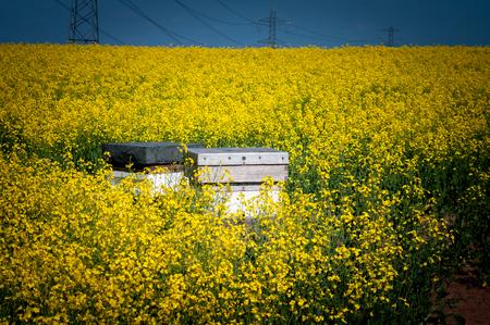 Beehives among flowers of oilseed rape to ensure pollination.