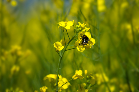 Bumble bee on oilseed rape flowers.