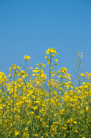 Oilseed rape flowers against clear blue sky. One flower spike prominent. Stock Photo