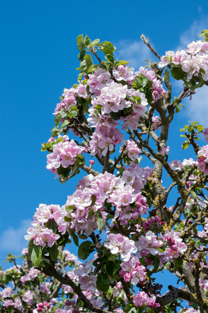 Pink apple blossom growing on the apple tree. Scientific name Malus pumila. Stock Photo