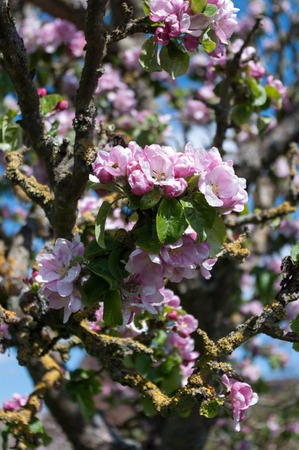 Pink apple blossom growing on the apple tree with a bee in one of the flowers. Scientific name Malus pumila. Stock Photo