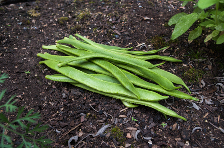 Freshly picked Scarlet Emperor runner beans on garden soil outdoors. Diagonal composition.