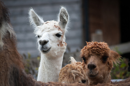 White and brown alpacas peeking over the back of a llama.