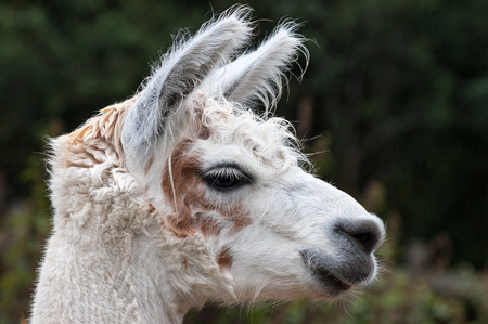 Head shot in profile of a white alpaca with brown or tan markings. Stock Photo
