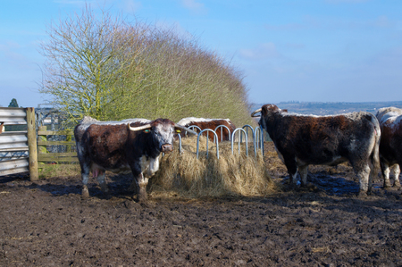 English Longhorn cattle gathering at feed.