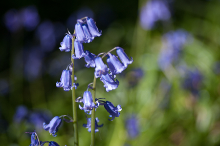 Bluebells against a blurred bokeh background. Scientific name Hyacinthoides non-scripta.