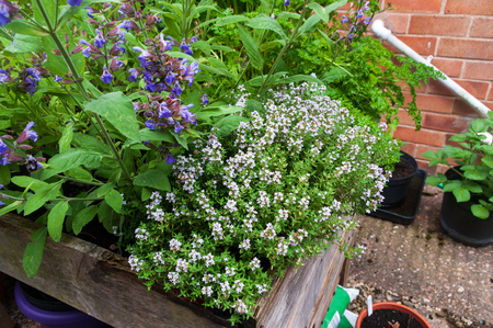 Thyme, sage and parsley in raised planter.