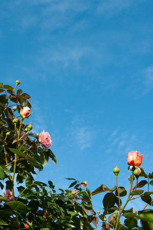 Pink roses border with blue sky background with a few light whispy clouds.