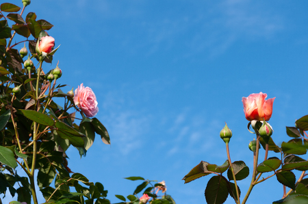 Pink roses border with blue sky background. Stok Fotoğraf