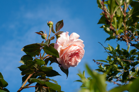 Pink rose and buds against blue sky.