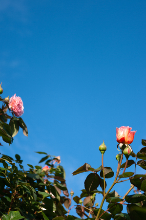 Pink roses border with clear blue sky background.