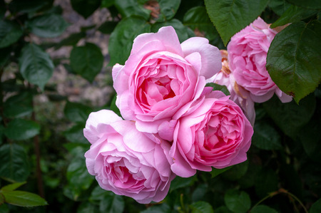 Pink roses in full bloom on the bush.