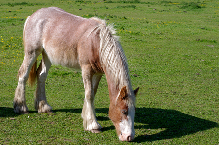 Pony feeding on sparse grassland. Space for copy to side. Stock Photo - 119540460