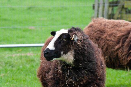 Balwen Welsh Mountain ewe showing black and white head markings.
