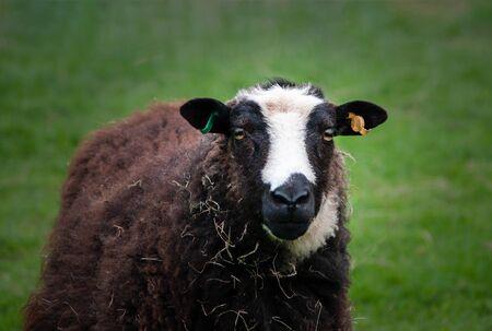 Blanwen Welsh Mountain ewe in field. Selective focus. Stock Photo