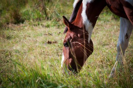 Skewbald horse eating grass in filed outdoors. Close shot of head. Sunny summer day. Stockfoto