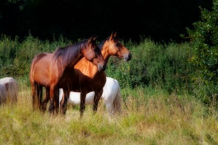Two alert bay horses in field. Other horses behind. Sunny summer day. Stock Photo