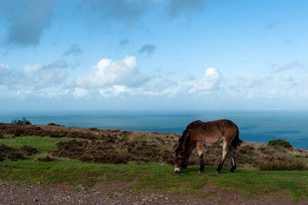 Wild Exmoor ponies above Porlock Bay in Somerset. Stock Photo