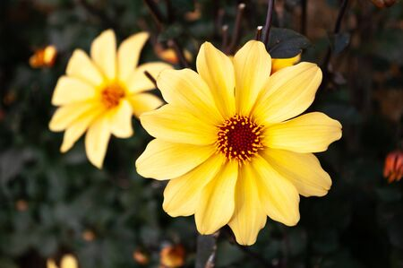 Bright yellow dahlia flower with another as blurred bokeh in the background. Stock Photo