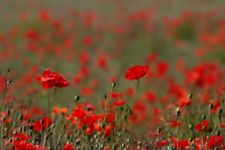Red poppies in field near Churchill, Worcestershire. Background. Space for copy. Stock Photo