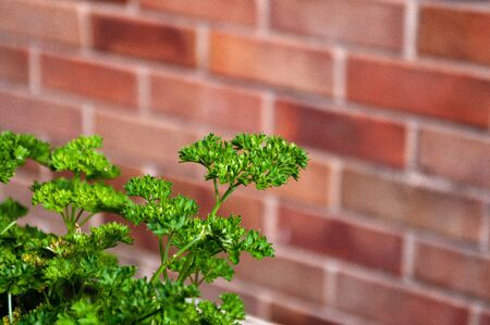 Bright green curly leaved parsley with brick wall behind. Space for copy.