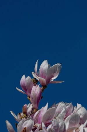 Pink magnolia flowers against blue sky with space for copy.