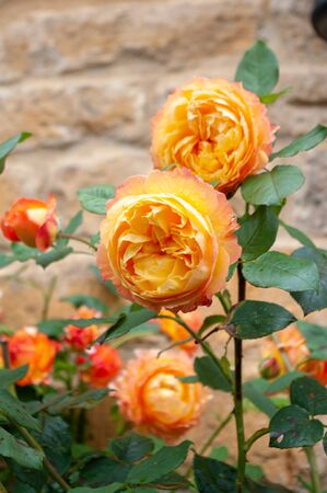 Abundance of orange roses blooming against Cotswold wall.