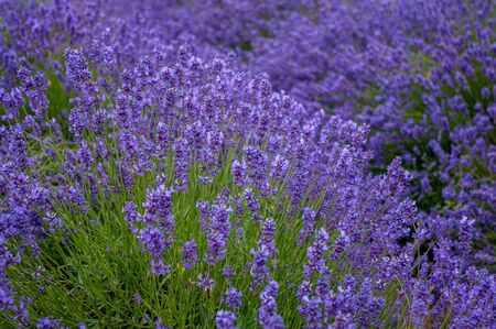 Lavender flowering in profusion in field ready to produce lavender oil.