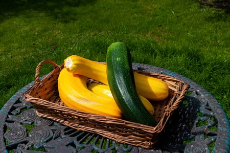Yellow and green courgettes grown to marrow size in basket on garden table.