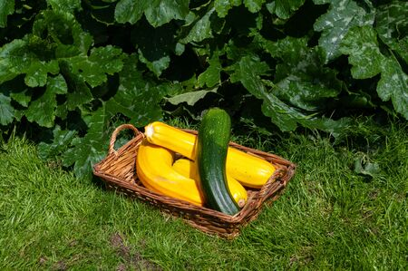 Yellow and green courgettes grown to marrow size in basket in front of growing courgette plants.